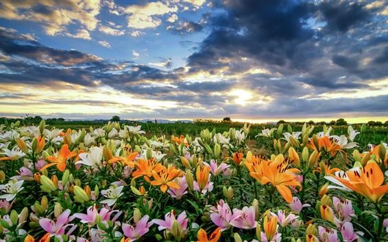 Papéis de Parede Lírios coloridos bonitos, nuvens, manhã
