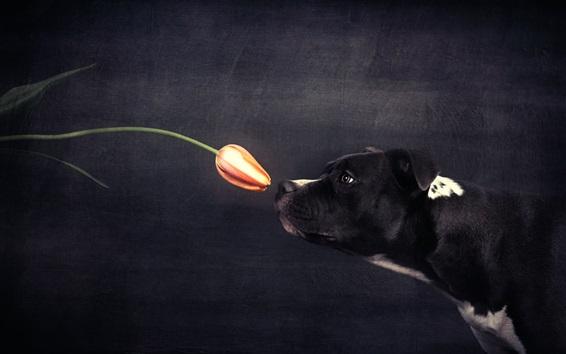 Wallpaper Black dog and orange tulip