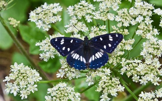 Обои Голубая бабочка, белые маленькие цветы
