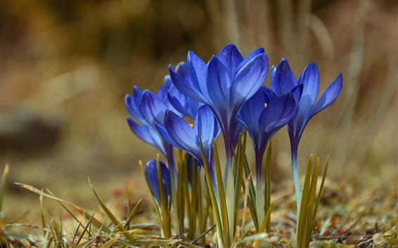 Wallpaper Blue crocuses, spring