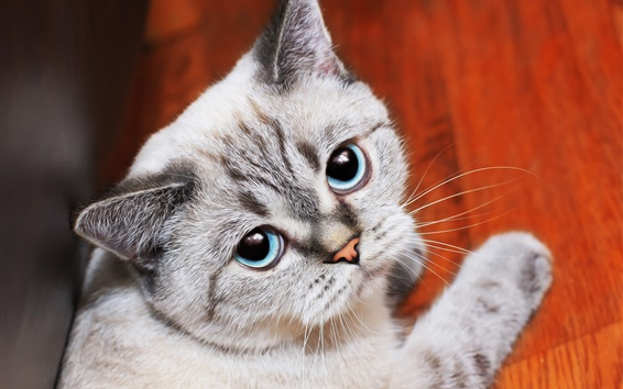 Wallpaper Blue eyes cat look at you, paw
