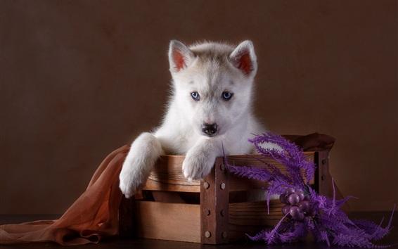 Fond d'écran Yeux bleus husky chiot, boîte en bois