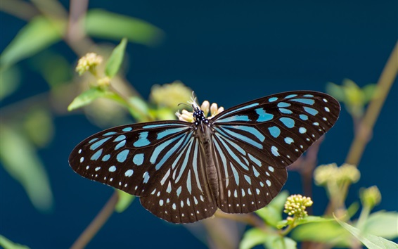 Wallpaper Butterfly, blue and black, wings