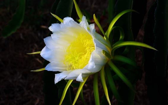 배경 화면 선인장 흰 꽃, 노란색 암술