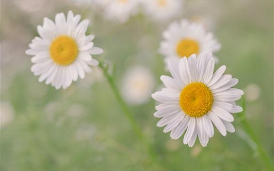 Fond d'écran Camomille, fleurs de pétales blancs