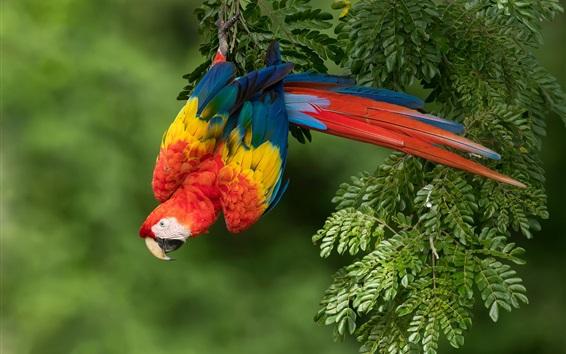 배경 화면 다채로운 깃털 앵무새, 붉은 잉꼬, 자연