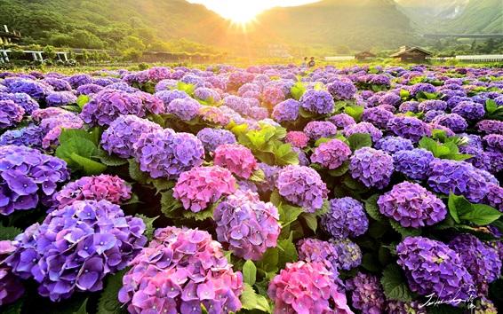 배경 화면 다채로운 수국 꽃, 들판, 아침