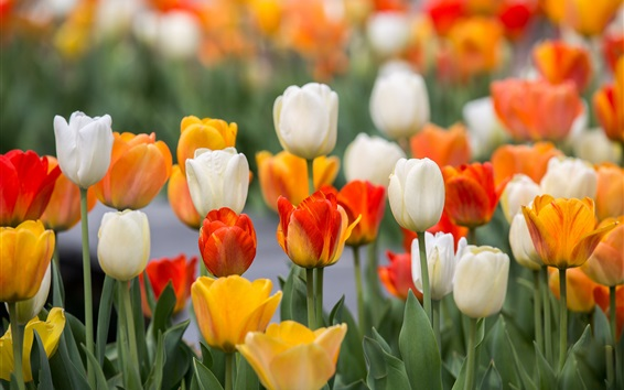 Wallpaper Colorful tulips, yellow, white, red, orange
