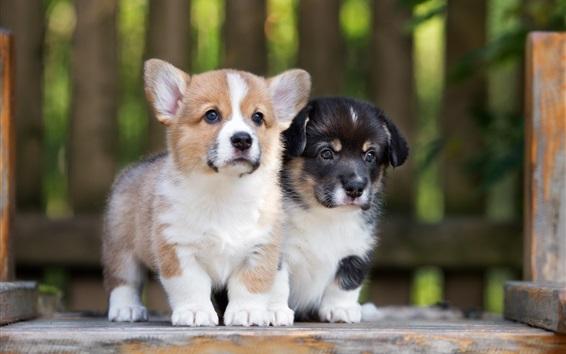 Wallpaper Corgi, two puppies