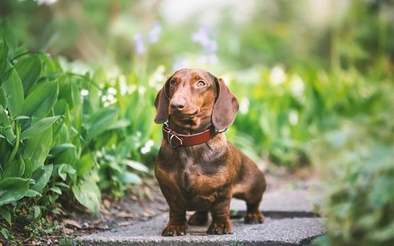 Papéis de Parede Cão bonito olhar, marrom, animal de estimação