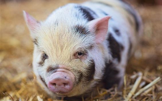 Wallpaper Cute little pig, nose