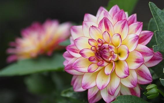 Fond d'écran Dahlia fleur macro photographie, de beaux pétales