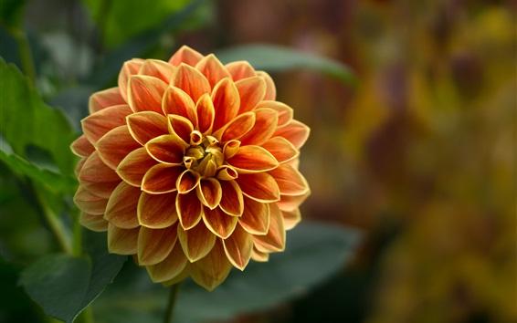 Wallpaper Dahlia, orange flower, petals