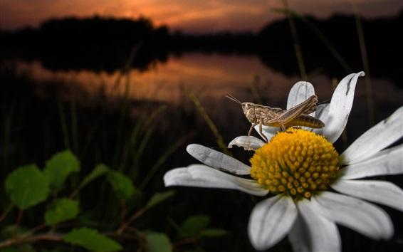 Wallpaper Daisy, insect, grasshopper