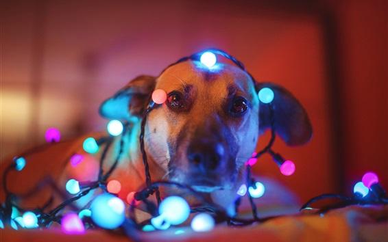 Papéis de Parede Cão, luzes coloridas do feriado
