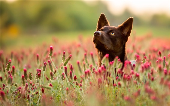 Wallpaper Dog, red wildflowers, summer