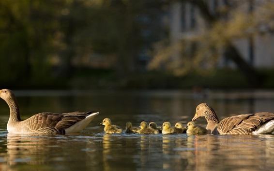Papéis de Parede Patos, família, lago