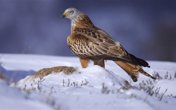 Wallpaper Eagle, snow, winter