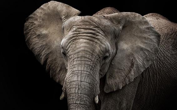 Fond d'écran Éléphant, fond noir