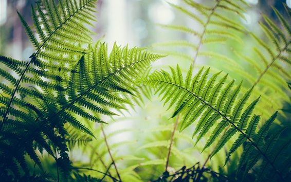 Wallpaper Fern, green leaves, backlight