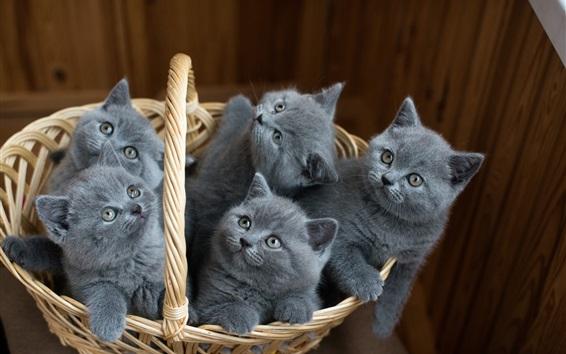 Papéis de Parede Cinco gatinhos cinza em uma cesta