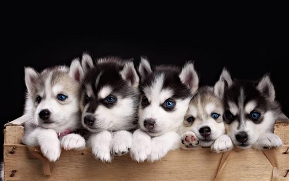 Papéis de Parede Cinco cachorros husky, cachorro olhos azuis