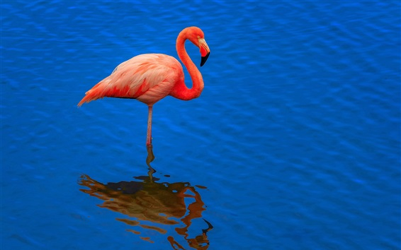 Wallpaper Flamingo, blue water, reflection