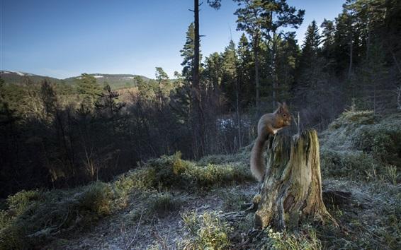 Papéis de Parede Floresta, toco, esquilo