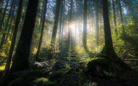 Fond d'écran Forêt, arbres, mousse, rayons de soleil