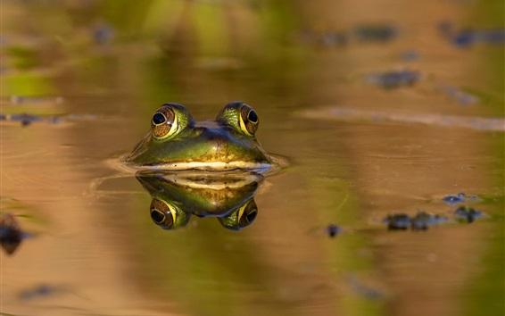 배경 화면 개구리, 물, 여름