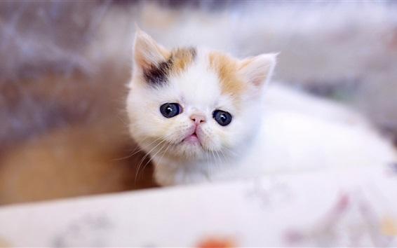 Обои Меховой белый котенок, размытый