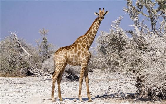 Обои Жираф посмотри на тебя, Африка