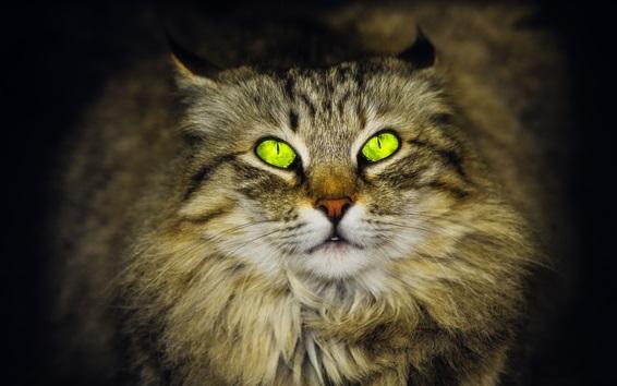Papéis de Parede Olhos verdes gato, peludo