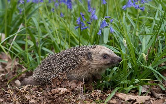 Papéis de Parede Hedgehog, grama, sinos azuis flores