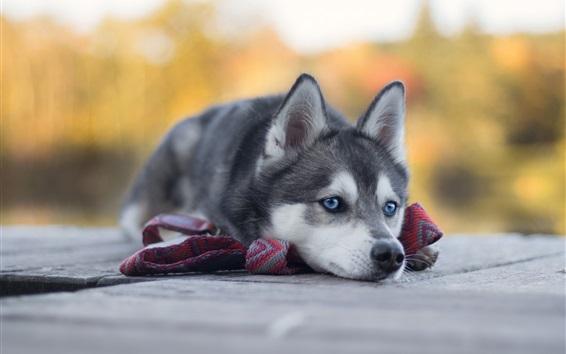 壁紙 ハスキーレスト、青い目犬