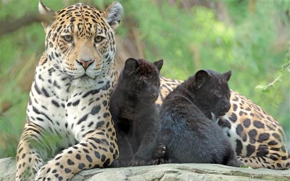 Fondos de pantalla Jaguares, familia, cachorros