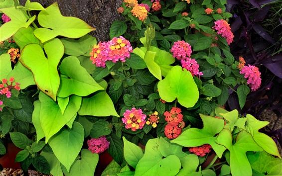 Wallpaper Lantana flowers, green leaves