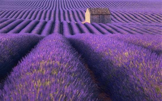 배경 화면 라벤더 밭, 자, 집, 여름