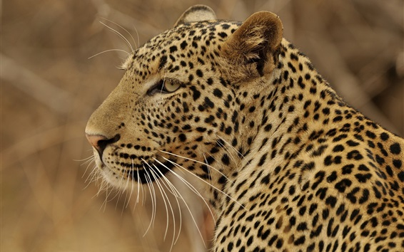 Обои Вид сбоку леопарда, хищник