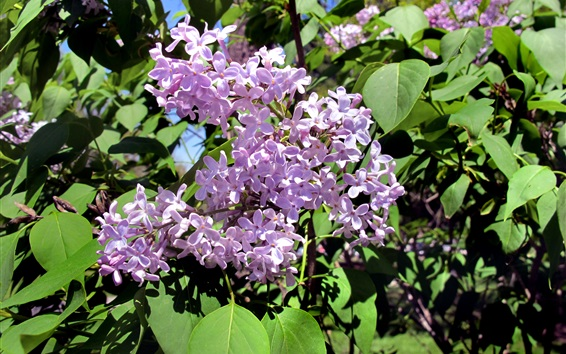 Wallpaper Lilac flowers, spring, twigs