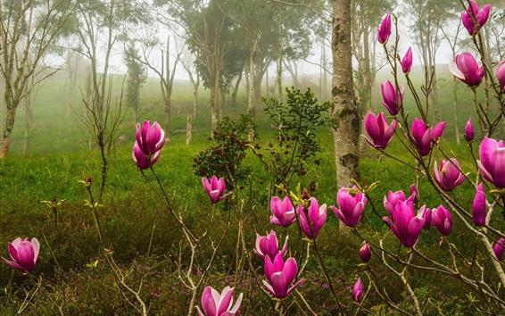 Fondos de pantalla Magnolia, flores de color rosa florecen, bosque, primavera