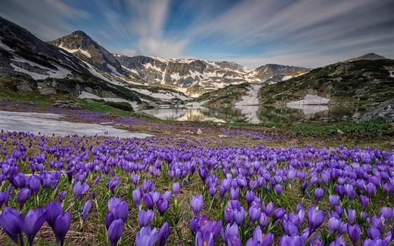 Papéis de Parede Muitas flores de açafrão, lago, montanhas, neve, primavera