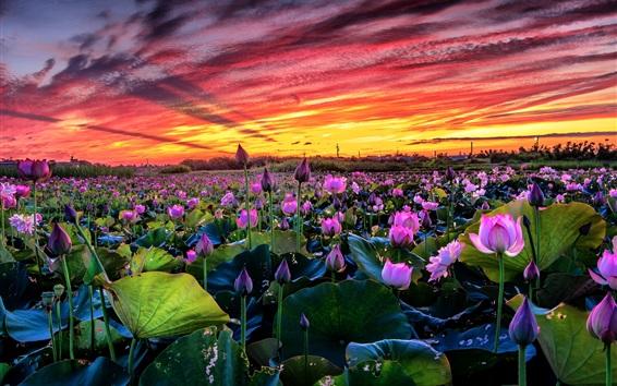 배경 화면 많은 분홍색 연꽃, 연못, 일몰