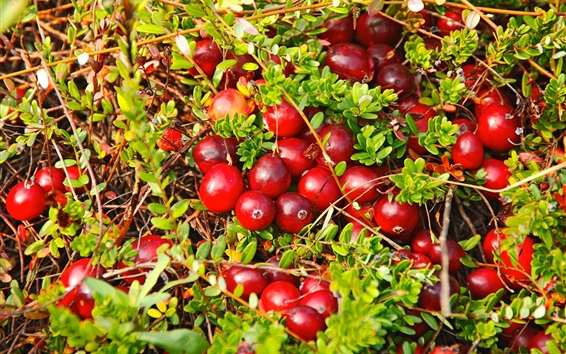 Wallpaper Many red berries, cranberry, plants