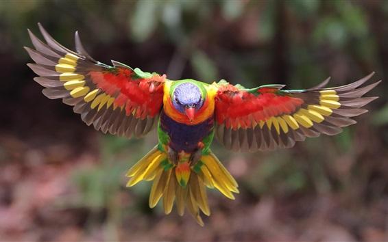 Papéis de Parede Lorikeet multicolorido, voo, asas