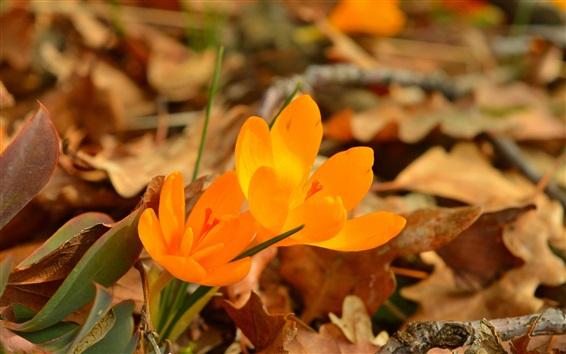 Wallpaper Orange flowers, crocuses