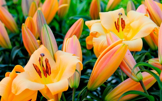 Papéis de Parede Flores de lírio laranja, primavera