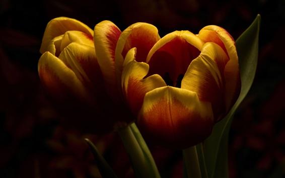 Wallpaper Orange tulips, black background