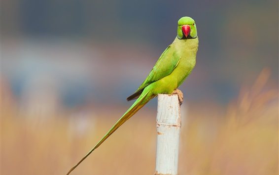 Wallpaper Parakeet, bird, stump