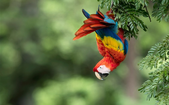 Wallpaper Parrot, macaw, colorful feathers, tree
